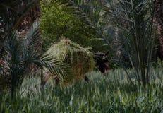 Γάιδαρος που χρεώνει μέσω του φέρνοντας φορτίου χλόης τομέων στοκ φωτογραφία με δικαίωμα ελεύθερης χρήσης