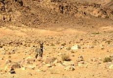 Γάιδαρος στην έρημο ρουμιού Wadi, Ιορδανία στοκ εικόνα