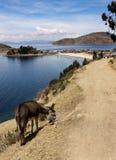 Γάιδαρος στην πορεία, Isla Del Sol, Βολιβία στοκ εικόνες