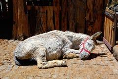 Γάιδαρος ύπνου, Monchique Στοκ Εικόνες