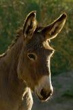 γάιδαρος Στοκ φωτογραφία με δικαίωμα ελεύθερης χρήσης