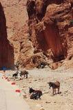 Γάιδαροι στα φαράγγια Todra στο Μαρόκο Στοκ εικόνες με δικαίωμα ελεύθερης χρήσης