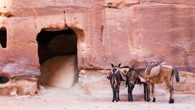 Γάιδαροι στη Petra Ιορδανία Στοκ Εικόνα