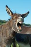 γάιδαρος αστείος Στοκ φωτογραφίες με δικαίωμα ελεύθερης χρήσης