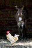 Γάιδαρος και κοτόπουλο Στοκ φωτογραφία με δικαίωμα ελεύθερης χρήσης