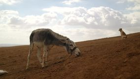Γάιδαρος και σκυλί στην έρημο σε ένα υπόβαθρο απόθεμα βίντεο