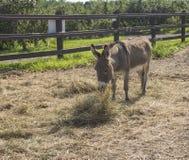 Γάιδαρος που τρώει σε ένα αγρόκτημα στοκ εικόνες