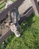 Γάιδαρος που τρώει σε ένα αγρόκτημα στοκ εικόνες με δικαίωμα ελεύθερης χρήσης