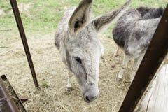 Γάιδαρος σε ένα αγρόκτημα Στοκ φωτογραφίες με δικαίωμα ελεύθερης χρήσης
