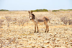 Γάιδαρος σε Bonaire Στοκ φωτογραφίες με δικαίωμα ελεύθερης χρήσης