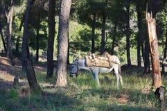 Γάιδαρος στο αλβανικό δάσος Στοκ Φωτογραφίες