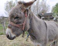Γάιδαρος στο προαύλιο ενός σπιτιού την άνοιξη Στοκ Εικόνα