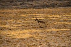 Γάιδαρος Himalayan Στοκ φωτογραφίες με δικαίωμα ελεύθερης χρήσης