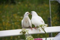 γάμος περιστεριών Στοκ Εικόνες