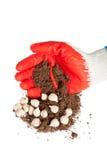 Γάντια, χώμα και βολβοί λουλουδιών σε ένα άσπρο υπόβαθρο Στοκ Εικόνες