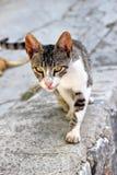 γάτα 2 άγρια Στοκ φωτογραφία με δικαίωμα ελεύθερης χρήσης
