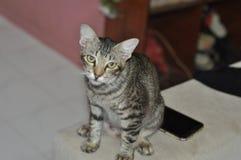 γάτα άτακτη Στοκ Φωτογραφίες