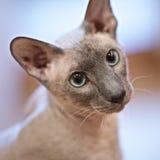 γάτα άτριχη στοκ φωτογραφία