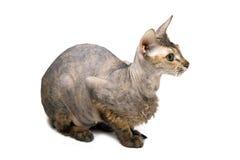 γάτα άτριχος Ασιάτης στοκ εικόνες