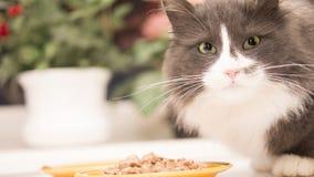 Γάτα έτοιμη να φάει Στοκ φωτογραφίες με δικαίωμα ελεύθερης χρήσης