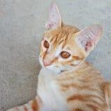 γάτα λίγα χαριτωμένο γατάκι προσώπου Στοκ Εικόνα