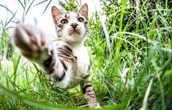 Γάτα αιλουροειδής Στοκ φωτογραφίες με δικαίωμα ελεύθερης χρήσης