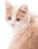γάτα ανασκόπησης λίγα άσπρ&alph Στοκ Εικόνα