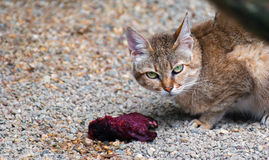 Γάτα Αραβικά, gordoni silvestris Felis Στοκ φωτογραφία με δικαίωμα ελεύθερης χρήσης