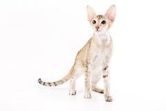 γάτα Ασιάτης Στοκ Φωτογραφίες