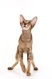 γάτα Ασιάτης Στοκ Εικόνες