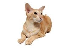 γάτα Ασιάτης Στοκ εικόνα με δικαίωμα ελεύθερης χρήσης