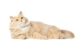 γάτα αστεία Στοκ Εικόνες