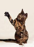 γάτα αστεία Στοκ Εικόνα