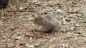 Γάτα αλεών της cray συνεδρίασης χρώματος ongravel στο κρύο καιρό απόθεμα βίντεο