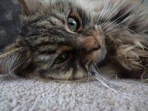Γάτα αλεών Στοκ φωτογραφία με δικαίωμα ελεύθερης χρήσης