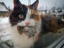Γάτα βαμβακερού υφάσματος που κρατά το νεκρό ποντίκι στο στόμα Στοκ Εικόνα