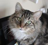 Γάτα βαμβακερού υφάσματος στοκ εικόνες