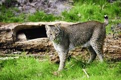 γάτα βαριδιών Στοκ φωτογραφία με δικαίωμα ελεύθερης χρήσης