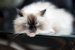 γάτα βασιλική Στοκ Φωτογραφίες