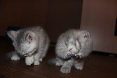 Γάτα, γάτες, κατοικίδια ζώα, σκωτσέζικες πτυχές, σκωτσέζικος ευθύς στοκ εικόνα με δικαίωμα ελεύθερης χρήσης
