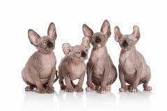Γάτα Γατάκια γατών νεραιδών στο άσπρο υπόβαθρο Στοκ Εικόνες
