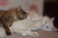 Γάτα, γατάκι, κατοικίδιο ζώο, ζώο, άσπρος, χαριτωμένος, αιλουροειδής, εσωτερικό, γατάκι, γούνα, χνουδωτός, περσικός, μικρός, νέα, στοκ φωτογραφίες με δικαίωμα ελεύθερης χρήσης