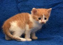 γάτα γατακιών shorthair ευρωπαϊκά στοκ φωτογραφία με δικαίωμα ελεύθερης χρήσης