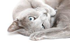 Γάτα γατών Στοκ φωτογραφία με δικαίωμα ελεύθερης χρήσης