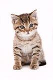 γάτα γκρίζα λίγα Στοκ Εικόνες