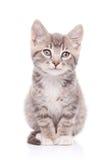 γάτα γκρίζα Στοκ Φωτογραφίες