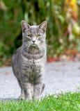γάτα γκρίζα Στοκ φωτογραφία με δικαίωμα ελεύθερης χρήσης
