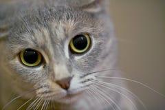 γάτα γκρίζα Στοκ Εικόνες