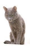 γάτα γκρίζα Στοκ εικόνα με δικαίωμα ελεύθερης χρήσης