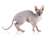 γάτα γυμνή Στοκ Φωτογραφία